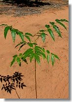 Growing A Neem Tree