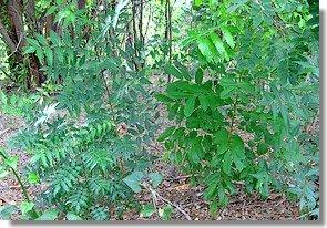 Neem and mahogany seedlings