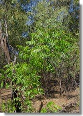 Neem foliage stands out