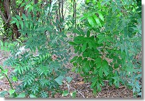 Neem and mahogany seedlings