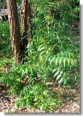 Neem seedling at the base of native trees.