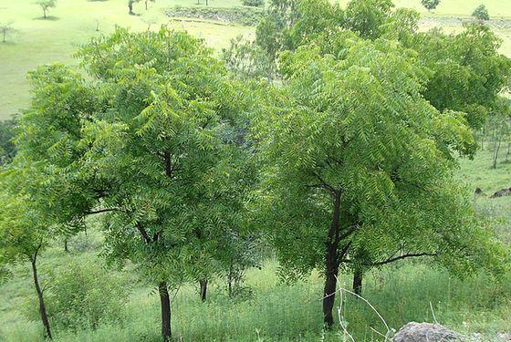 Neem trees growing in India