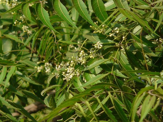 Flowering neem tree.