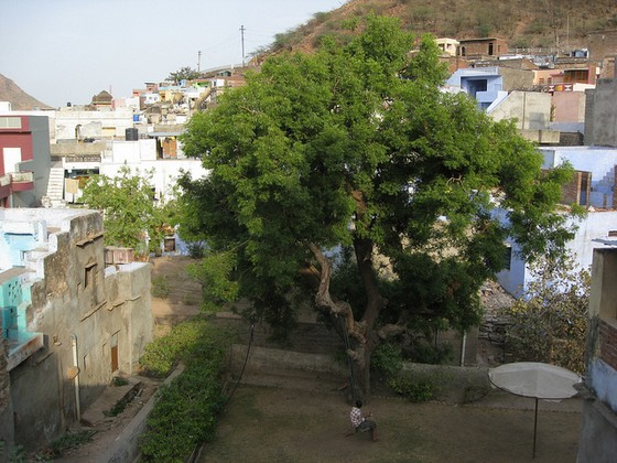 Neem tree growing in village.
